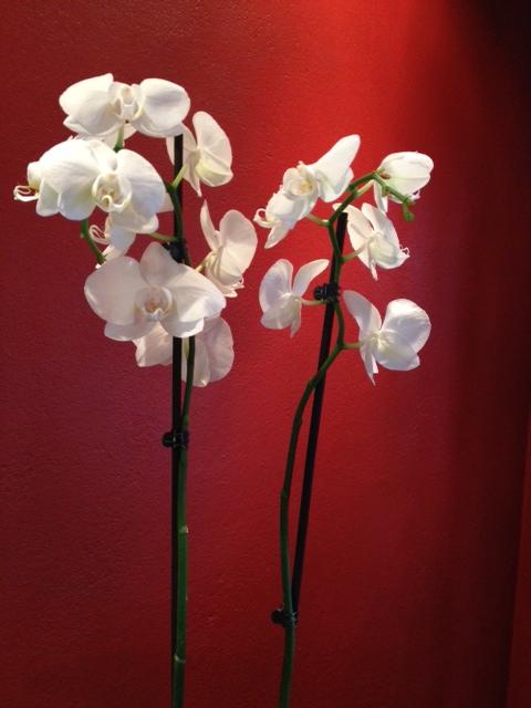 orkide röd vägg